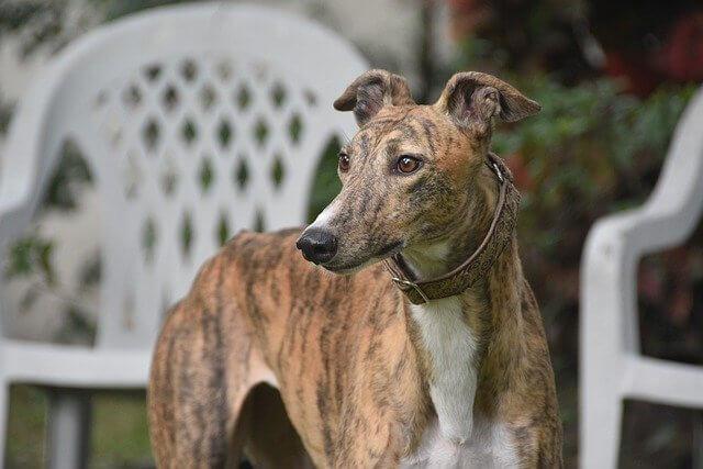 Photo of a greyhound