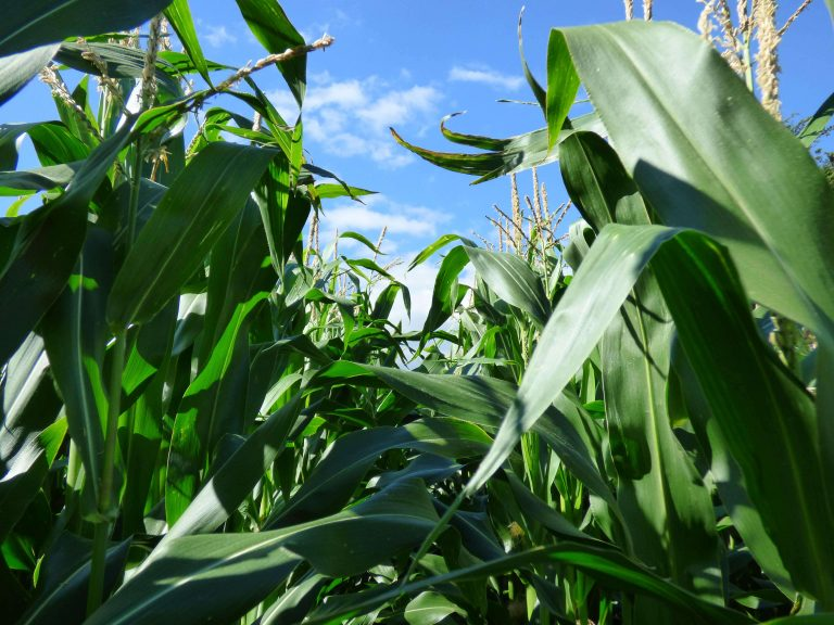 Maize growing in afield