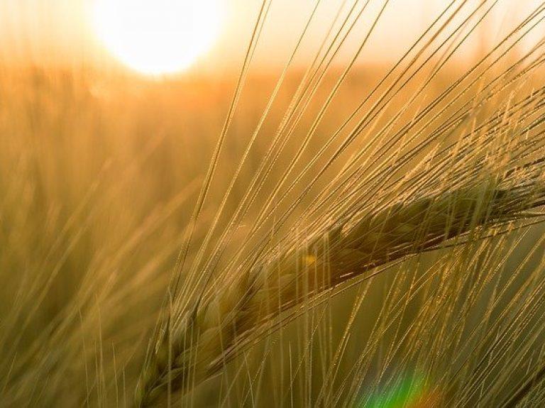 Ear of Winter barley