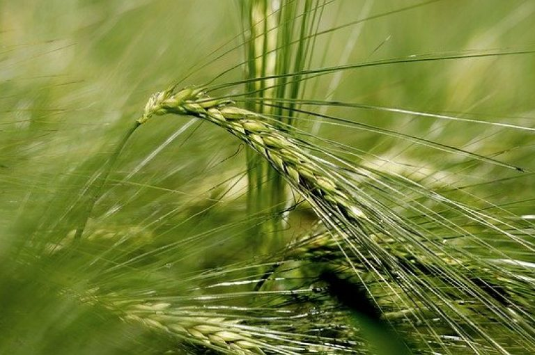 Ear of malting barley